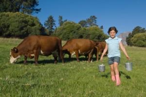 mucche in prato
