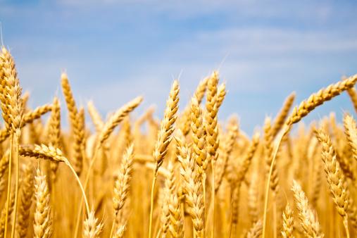 pasta italiana campo grano