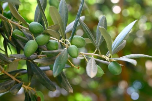olive ulivo olio