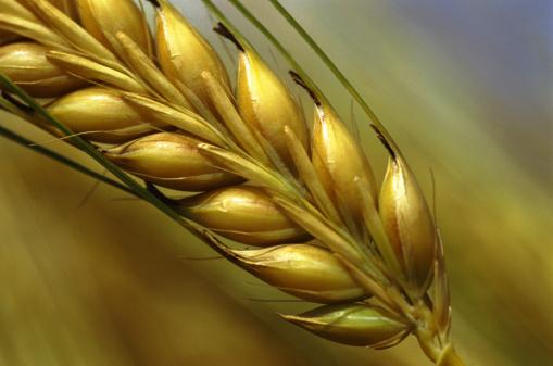 grano cereali spiga