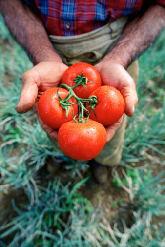 orto raccolto pomodori