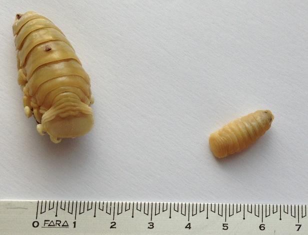 parassiti pesce1