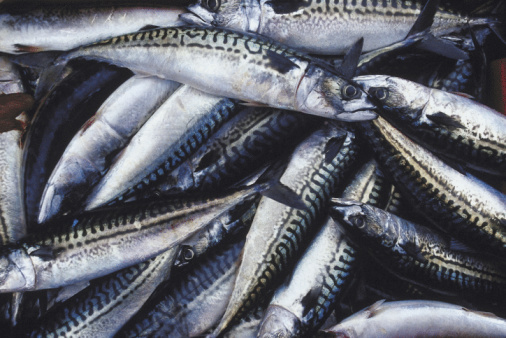 sgombro pesce 87811583