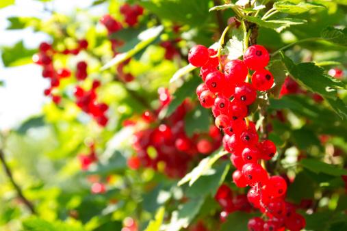 ribes frutti di bosco 174264626