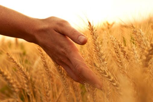 grano spighe campo mano 148497456