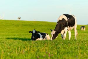 mucca pascolo 177426142