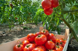 pomodori agricoltura campi 122699722