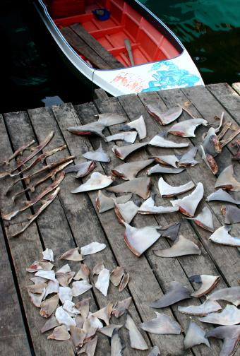 squalo pinne pesca 144871020