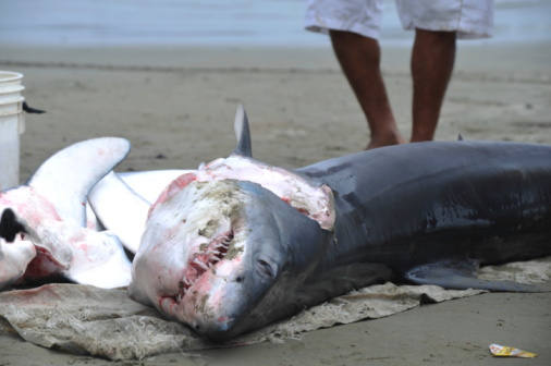 squalo pinne pesca 95489100