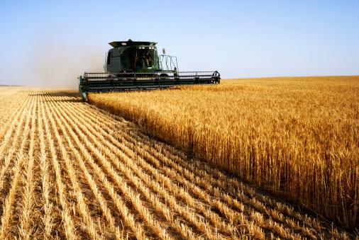 pasta grano campi agricoltura