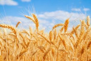 pasta grano campi agricoltura 167584453