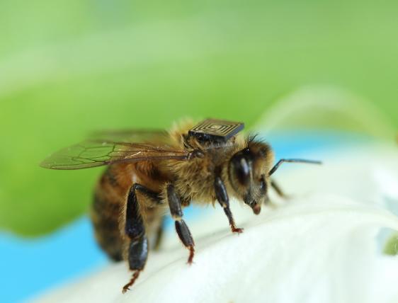 scomparsa delle api chip moria