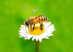 api fiori miele 147660561