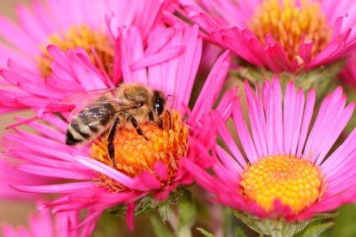 api fiori miele 461839953