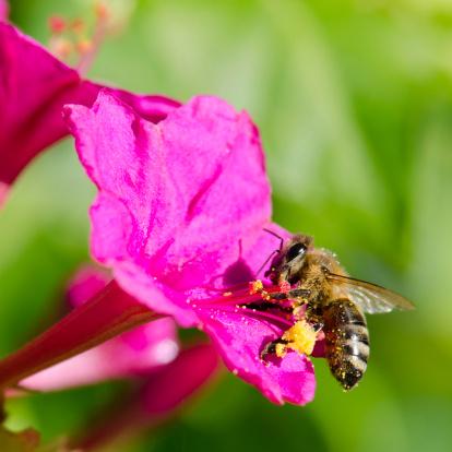 scomparsa delle api moria fiore polline 156224163