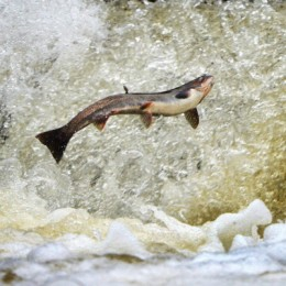 Salmone Return Upstream From The Atlantic To Spawn In Scottish Rivers