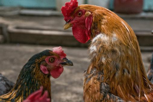 pollo 87817099