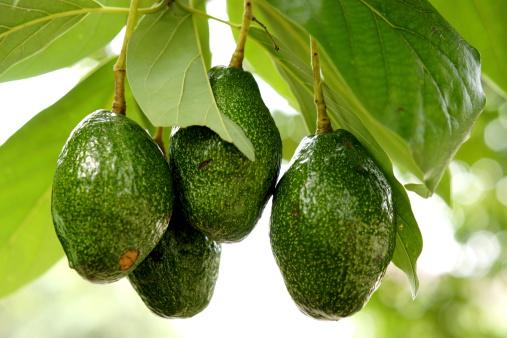 guacamole avocado pianta 179226644