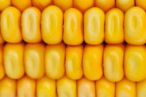 diossina nel mais OGM mais 156474033
