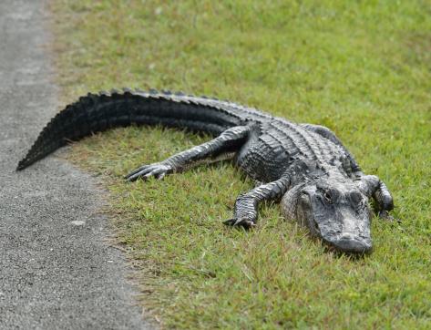 alligatore americano 467847453