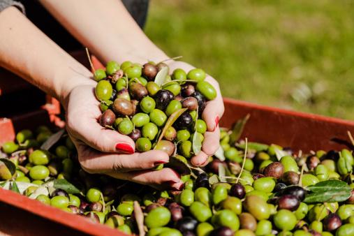 olive olio 462273271