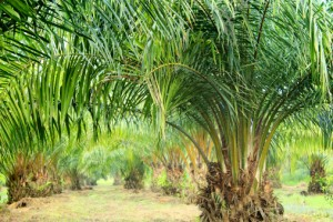 olio di palma 469044219