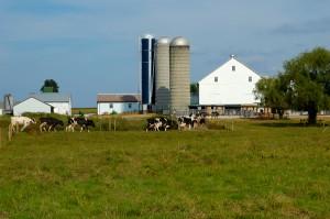 Latte con aflatossine campi mucche iStock_000000293660_Small