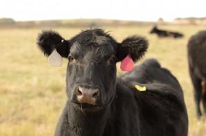 Feed Steers