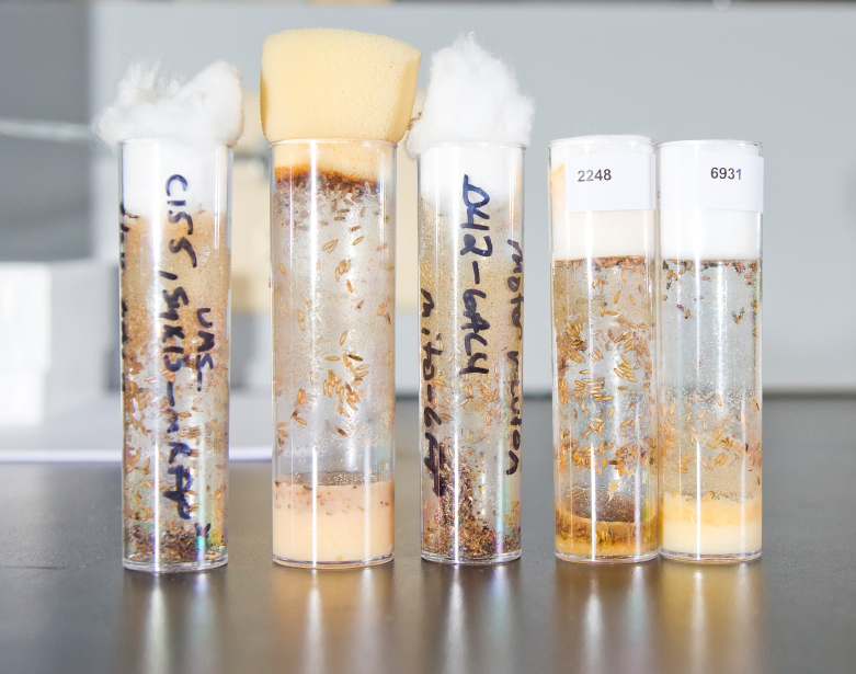 The larvae of Drosophila flies in test tubes with a nutrient sol