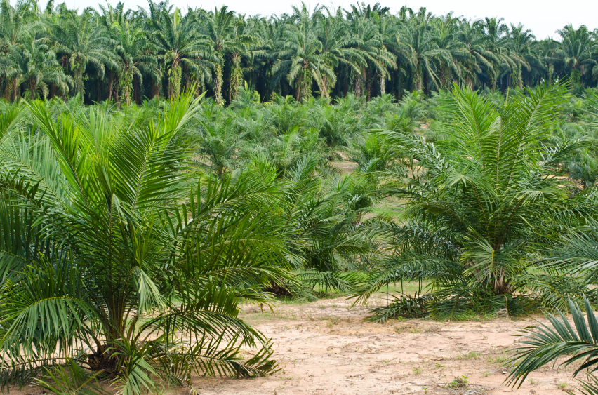 olio di palma Palm Oil Plantation.