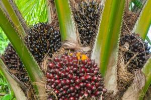 olio di palma 00041759064_Small