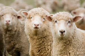 pecore iStock_000001974360_Small