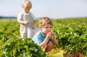 Two little boys on organic strawberry farm