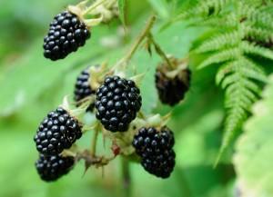 berries of blackberry on the bush
