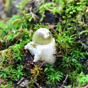 amanita phalloides funghi velenosi