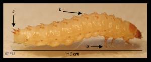 Aethina tumida larva api alveare