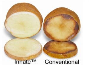 patata innate ogm