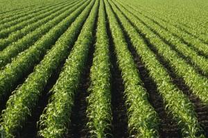 campo agricoltura iStock_000005923313_Small