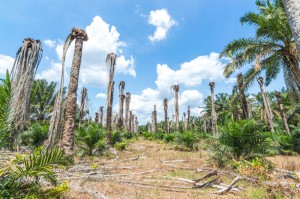 Replanting oil palma at estate plantation