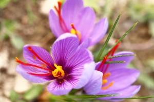 Close up of saffron flowers in a field zafferano