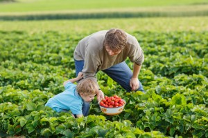 Young man and his son on organic strawberry farm