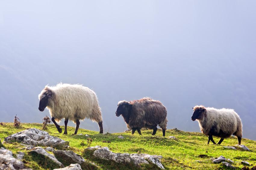 three sheep in mountain