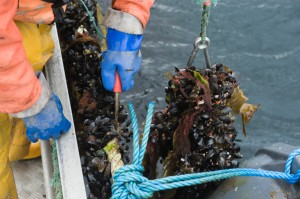 cutting of mussels Cozze contaminate