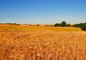 grano campo agricoltura iStock_000000667049_Small