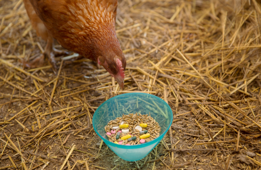 Curious Hen and Pills