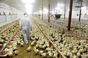 Poultry Farm And A Veterinary polli allevati con antibiotici