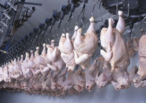 carne  pollo industria trasformazione lavorazione iStock_000012670869_Large