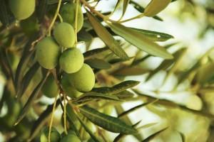 olive extravergine