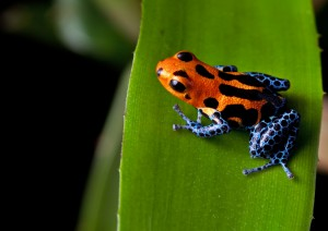 red striped poison dart frog blue legs Sostenibilità