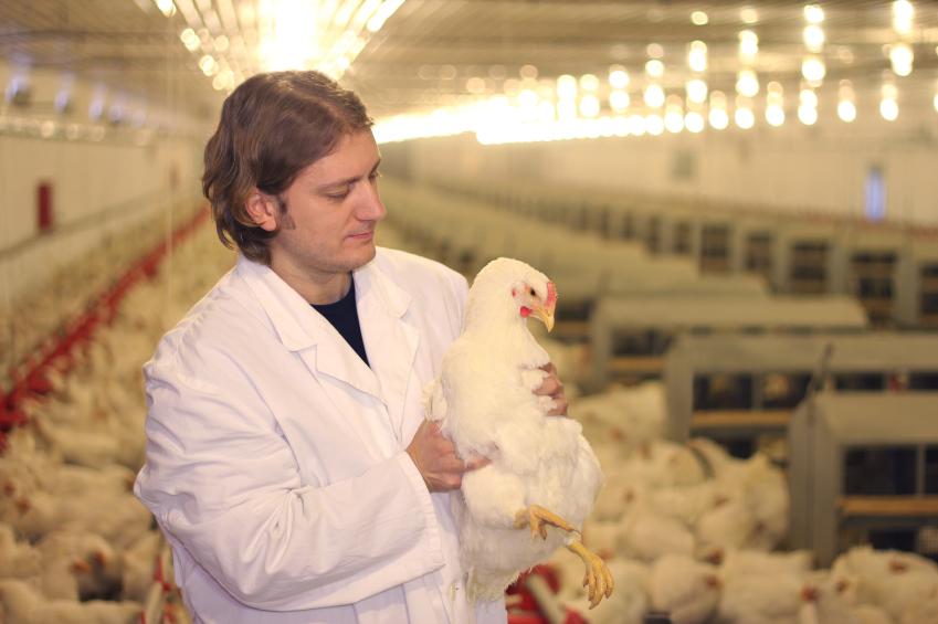 Allevamenti polli